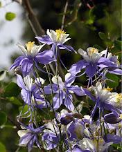 Photo: Columbine Flowers