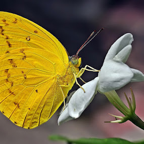 Yellow by Helnis Susanto Johannis - Animals Other