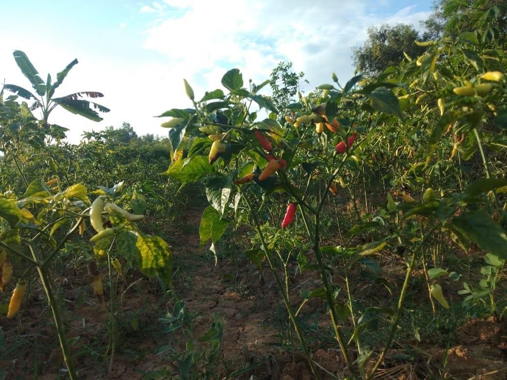 Semangat Para Petani Cabai, Dan Berharap Badai Cepat Berlalu