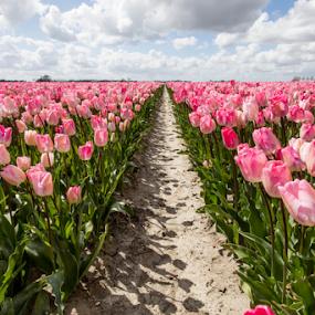 Pink Tulips by Merina Tjen - Lim - Flowers Flower Gardens ( pink flower, field, bulb, tulip, flower )