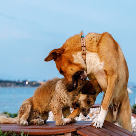 by Veli Toluay - Animals - Dogs Playing (  )