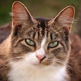 Lovey by Brenda Shoemake - Animals - Cats Portraits (  )