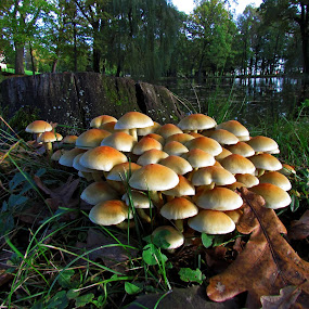 In good Company by Mirela Korolija - Nature Up Close Mushrooms & Fungi ( nature, grass, green, brown, close up, mushrooms )