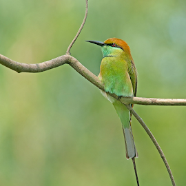 Green bee-eater by Syed F Abbas - Animals Birds ( forest, bee, beak, bright, india, birds, branch, thinking, bee eater, feathers, abbas, bird, serious, animals, syedfabbas, close, wildlife, biology, green, resting, nature, one, ornithology, perched, brown, outdoor, syed, detailed, green bee eater, animal, wild, zoology, sitting )