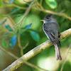 Papa-moscas-cinzento(Tropical Pewee)