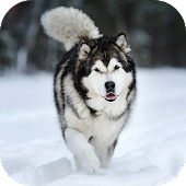 Alaskan Malamute Wallpapers HD