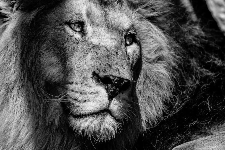 The King by Alessio Coluccio - Black & White Animals ( lion, king, animal, eyes )