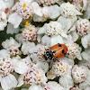 Adonis ladybird