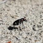 LeConte's Tiger Beetle