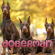 Download Doberman Pinscher For PC Windows and Mac