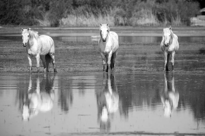 Cavalli selvatici di Peter_Sossi