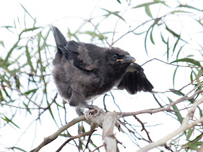 Photo: Pied Currawong chick