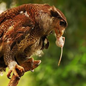 ONLY SMALL PREY by Ian Sumatika - Animals Birds