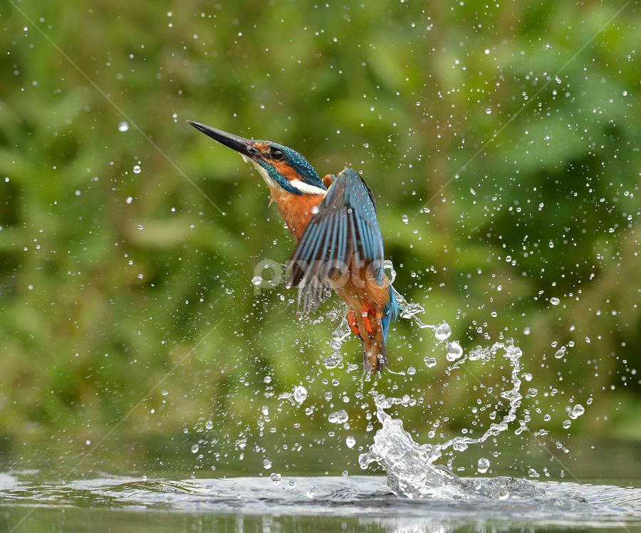 Kingfisher Rising  by Keith Bannister - Animals Birds ( nature, kingfisher, birds alcedo atthis, wildlife, birds )
