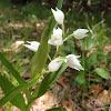 Narrow-Leaf Helleborine