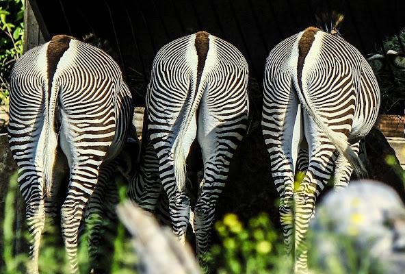 Zebre di Bibanto