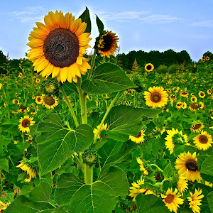 Sunflower_farm_final.jpg