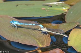 Photo: Common Blue Damselfies (m & f) Bluewaters, Healey Nab 22.07.12