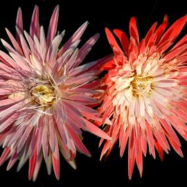 double beauty by SANGEETA MENA  - Flowers Flowers in the Wild