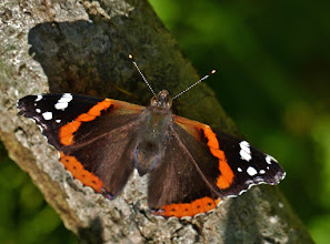 Photo: Admiral (Vanessa atalanta) am Toplitzsee.