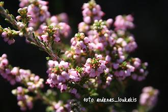 "Photo: ΡΕΙΚΙ Ερείκη η σαρκόχρους  Ονομασία φυτών του γένους ερείκη, της οικογένειας των ερεικιδών, της τάξης των ερεικωδών, της κλάσης των δικοτυλήδονων. Το γένος ερείκη περιλαμβάνει 530 περίπου είδη, από τα οποία τρία ευδοκιμούν στην ελληνική χλωρίδα και είναι γνωστά με το όνομα ""ρείκια"". Τα άνθη τους έχουν επιφυή ωοθήκη, ανθήρες με κερατοειδείς αποφύσεις και η στεφάνη τους δεν πέφτει στο τέλος της άνθισης. Ο καρπός τους είναι κάψα.      Ερείκη η σαρκόχρους. Είναι μικρός θάμνος και το ύψος της φτάνει τα 60 εκ. Φυτρώνει σε ασβεστούχα εδάφη, σε πετρώδεις ορεινές περιοχές και σε δάση της ορεινής Ελλάδας και έχει μικρά σωληνοειδή άνθη, που έχουν χρώμα ρόδινο και εκφύονται κατά πυκνούς βότρεις. Τα φύλλα της είναι μικρά, γραμμοειδή, σπονδυλωτά, γυαλιστερά και έχουν χρώμα σκουροπράσινο."