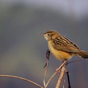 Zitting Cisticola by Sanjib Laha - Animals Birds