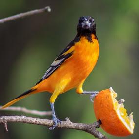 Got Orange? by Jim Harris - Animals Birds ( orange, black and orange, orange bird, bird, perched )