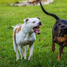 Oh snap... by Steven Perez - Animals - Dogs Playing ( dogs playing, dogs, dog playing, dogs running, dog, dog portrait,  )