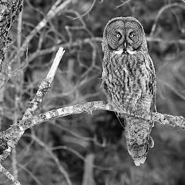 Great Gray Owl by Steven Liffmann - Black & White Animals ( great gray owl,  )