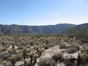 Cholla on the way to RockHouse Canyon