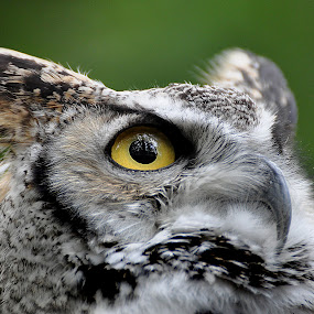 Eye of an OWL by Ita Martin - Animals Birds (  )