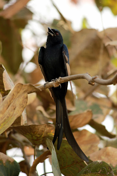 Photo: #backyardbirdingmonday #backyardbirding +Backyard Birding Monday #BackyardbirdingMonday That's the Drongo whose exact variety I still haven't managed to figure out. Which Drongo has white on it's wing?