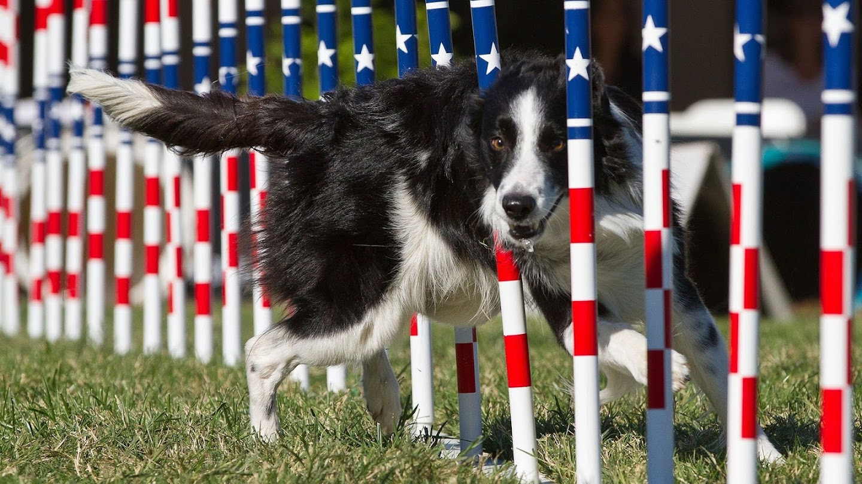 Watch Incredible Dog Challenge & National Dog Show live