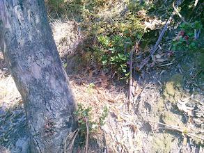 Photo: More oak seedlings.