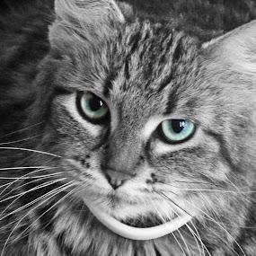 Pretty Eyes by Nikki Scott - Animals - Cats Portraits ( cat, maine coon, bw, feline )