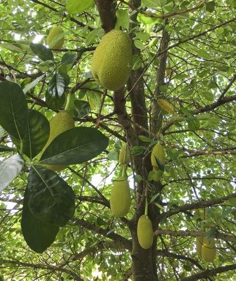 Jackfruit growing in Singapore.