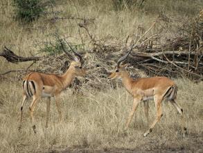 Photo: Impalas!
