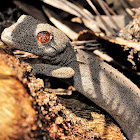 Soft Spiny Tailed Gecko