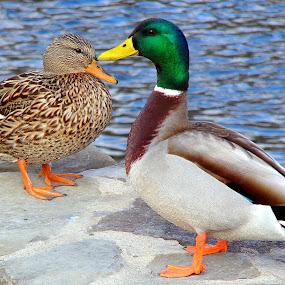 Lovey Duckies by Carol Milne - Animals Birds