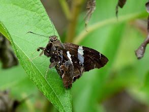 Photo: FALCATE SKIPPER--spathilepia clonius--RIO CHIGUAZA, PASTAZA