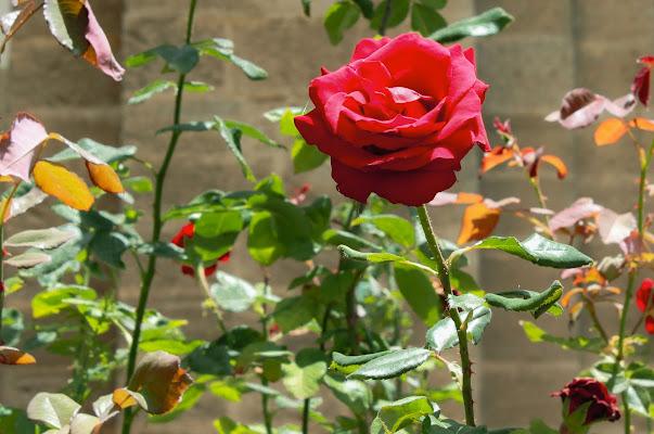 il mese delle rose di federica ambrogio