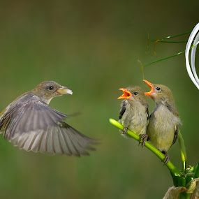 by Indrawaty Arifin - Animals Birds ( mother, sons, feeding, birds,  )