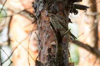 Photo: Tree Pipit (Baumpieper); Stockholm, SE