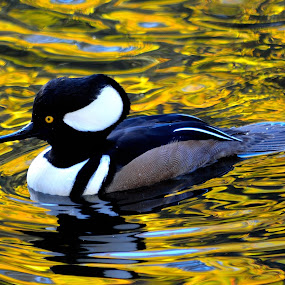 Golden Pond by Stephen Schutt - Animals Birds