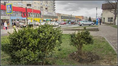 Photo: Cimisir, merisor (Buxus sempervirens) - de pe Calea Victoriei, Mr.2 - 2017.03.18