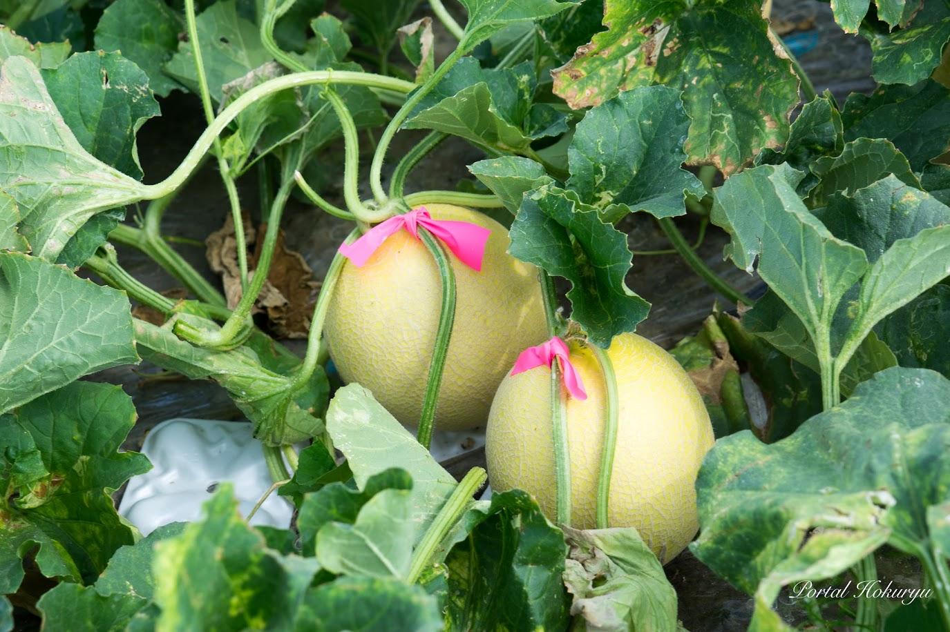 収穫していいメロンには赤いリボンが付けてあります