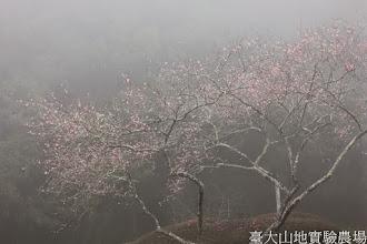 Photo: 拍攝地點: 梅峰-行政中心旁 拍攝植物: 梅花(唐梅) 拍攝日期: 2015_02_09_FY