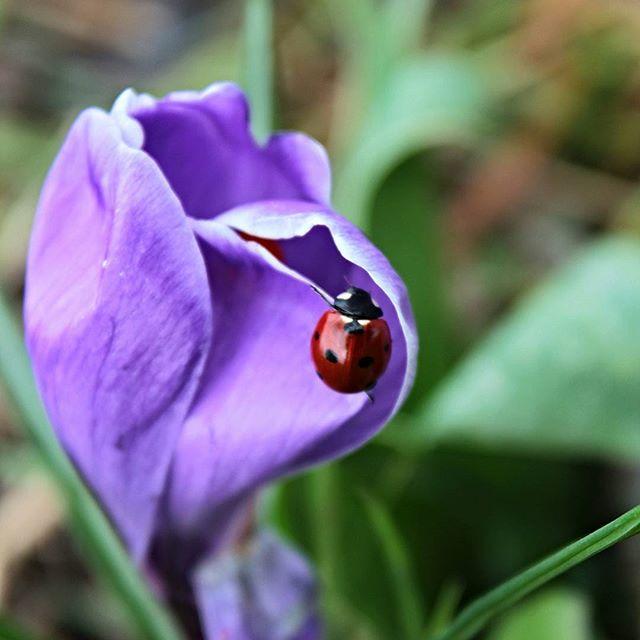 #naturfoto #nature #natura #macroclique #macroandflowers #coccinelle #primavera #sping #ilovenature #naturelovers #flowerandmacro #flower #volgogrosseto #igertoscana #goodluck #buonafortuna #haveagoodday #haveaniceday #buonagiornata di utente cancellato