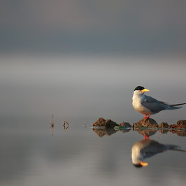 Tern by Saumitra Shukla - Animals Birds ( amazing, morning glory, beauty, golden hour, bird, animal, travel, wild, water, wildlife, morning )