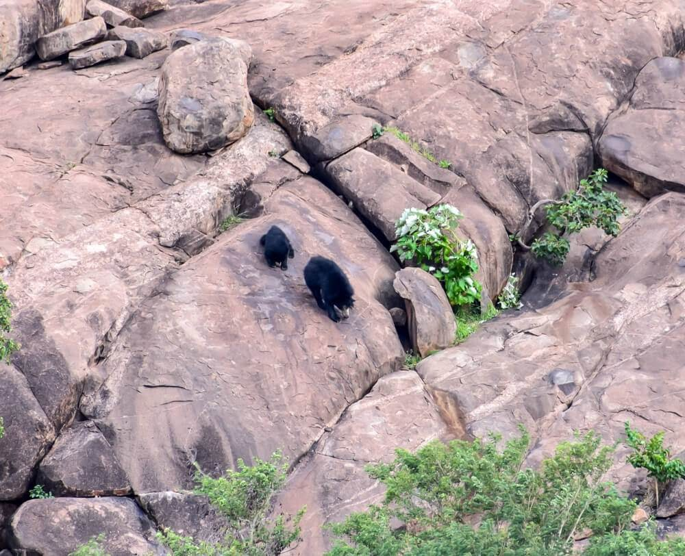 black++sloth+bear+daroji+sloth+bear+sanctuary+karnataka sloth bear images